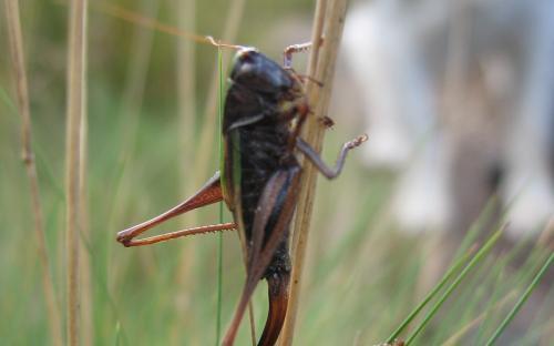 Con Head Grasshopper