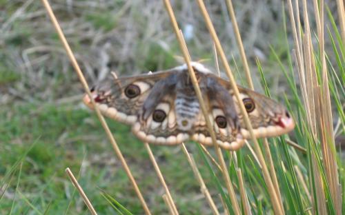 Emperor Hawk Moth