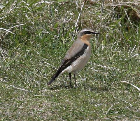 Male Common Wheatear