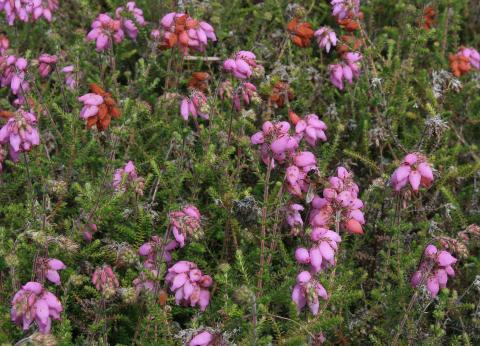 Dorset Hybrid Heath
