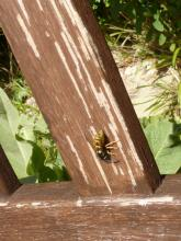Wasp in action chewing off  the wood of a garden chair