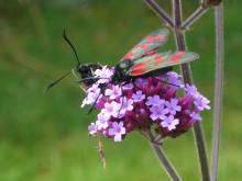 Six spot burnet on Verbena bonariensis