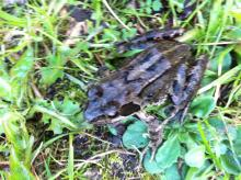 Common Frog in Sandford Garden