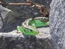 Sand Lizard (Male)