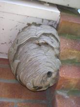 Wasp Nest 1
